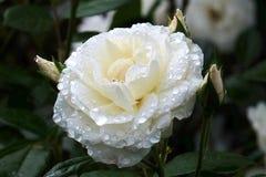 Gotitas de agua color de rosa blancas Imagen de archivo