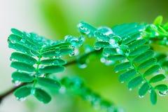 Gotitas de agua de la formación en las hojas Imágenes de archivo libres de regalías