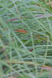 Gotitas de agua en hierba Fotografía de archivo