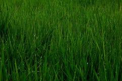 Gotitas de agua en la hierba. Foto de archivo