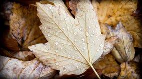 Gotitas de agua en la hoja de la caída del otoño Foto de archivo libre de regalías