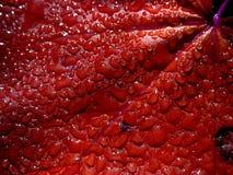 Gotitas de agua en la hoja roja Imagenes de archivo