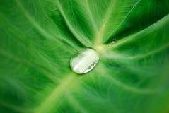 Gotitas de agua en las hojas Fotografía de archivo libre de regalías