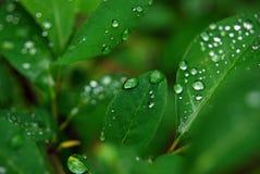 Gotitas de agua en las hojas Imagenes de archivo