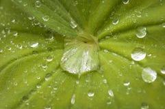 Gotitas de agua en las hojas Imágenes de archivo libres de regalías