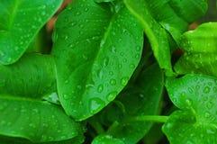 Gotitas de agua en las hojas de la cala Imagen de archivo libre de regalías