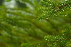Gotitas de agua en las hojas de un Grevillea Bush Fotos de archivo libres de regalías