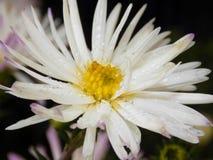 Gotitas de agua en los pétalos de una flor Foto de archivo