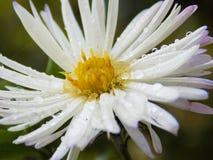 Gotitas de agua en los pétalos de una flor Fotos de archivo libres de regalías