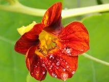 Gotitas de agua en los pétalos de una flor Imagen de archivo libre de regalías