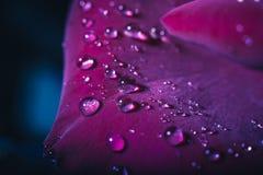 Gotitas de agua en pétalos color de rosa rojos Imágenes de archivo libres de regalías