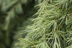 Gotitas de agua en un árbol de pino Imágenes de archivo libres de regalías