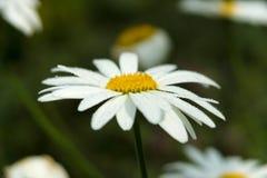 Gotitas de agua en un pelitre de la flor Imágenes de archivo libres de regalías