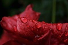 gotitas de agua en una flor roja Imagenes de archivo