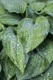 Gotitas de agua grandes en la superficie de hojas Imagenes de archivo