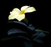 Gotitas de agua que añaden la flor de trompeta de oro del encanto imágenes de archivo libres de regalías