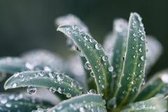 Gotitas de la planta del invierno Foto de archivo libre de regalías
