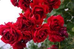 Gotitas del rocío en un brote color de rosa P?talos color de rosa multicolores Detalles y primer imagen de archivo libre de regalías