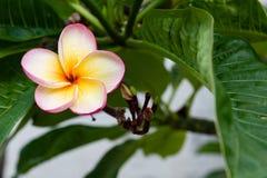 Gotitas en la flor del plumeria Foto de archivo libre de regalías