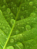 gotitas en la hoja verde Imágenes de archivo libres de regalías