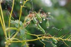Gotitas en la seda fina de la araña que cuelga en una planta verde imágenes de archivo libres de regalías