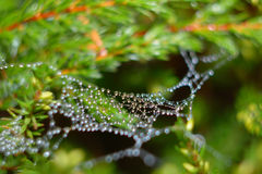 Gotitas que cuelgan en araña-Web Imagen de archivo libre de regalías
