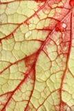 Gotitas rojas ardientes del detalle y de agua de la vena de la hoja. Imagen de archivo libre de regalías
