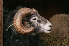 gotland猛撞绵羊 库存照片
