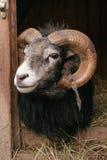 gotland猛撞绵羊 库存图片
