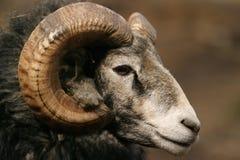 gotland猛撞绵羊 免版税库存图片