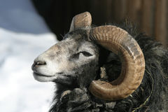 gotland猛撞绵羊 免版税库存照片