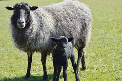 Gotland Sheep. A Gotland Ewe and Lamb stock photography