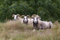 The Gotland sheep. Is a breed of domestic sheep named for the Swedish island of Gotland. Both rams and ewes have slightly twisted and inverted horns, with stock photography
