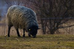 GOTLAND SHEEP - nordic breed of sheep known for curly grey wool stock images