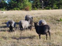 Gotlandic绵羊 库存图片