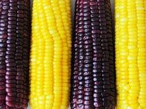 Gotowana żółta kukurudza i gotowana purpurowa kukurudza, adra, zdrowa Zdjęcia Stock