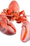 Gotowanego homara odosobniony frontowy widok obraz stock