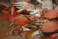 Gotowani kraby w wodzie Obraz Royalty Free