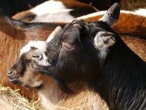 Gots e capre di riposo del pigmy Fotografie Stock