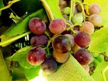 Gottesanbeterin auf der Weinrebe Stockbild