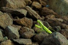 Gottesanbeterin auf Felsen Lizenzfreie Stockfotografie