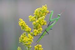 Gottesanbeterin auf gelber Blume lizenzfreies stockbild