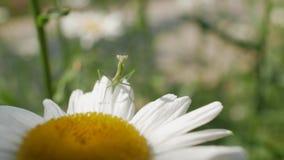 Gottesanbeterin, die auf einer Gänseblümchenblume sitzt Landschaft mit Kamille 4K Video 4K stock video