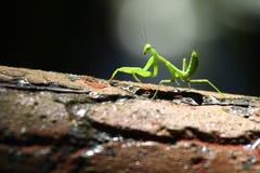 Gottesanbeterinnen auf Baum, bereiten für die Jagd vor Stockbilder