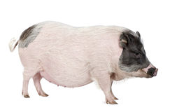 Gottingen minipig in front of a white background Stock Photos