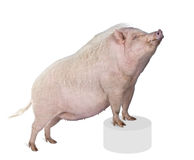 Gottingen minipig in front of a white background Royalty Free Stock Photography
