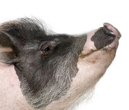 Gottingen minipig in front of a white background Stock Photography