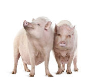 Gottingen minipigs in front of a white background Royalty Free Stock Photo