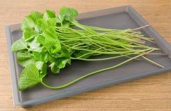 Gotu frais Kola Plant sur un plateau photographie stock