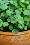 Gotu kola Royalty Free Stock Photos
